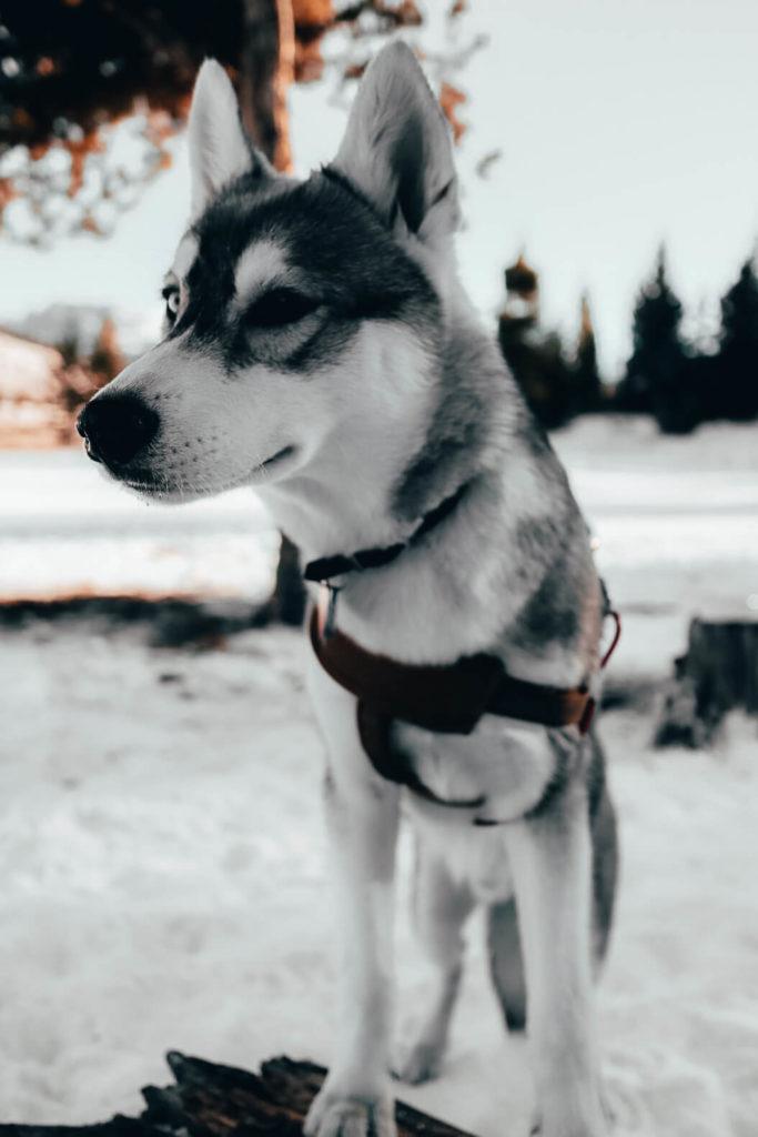 husky puppy winter camping
