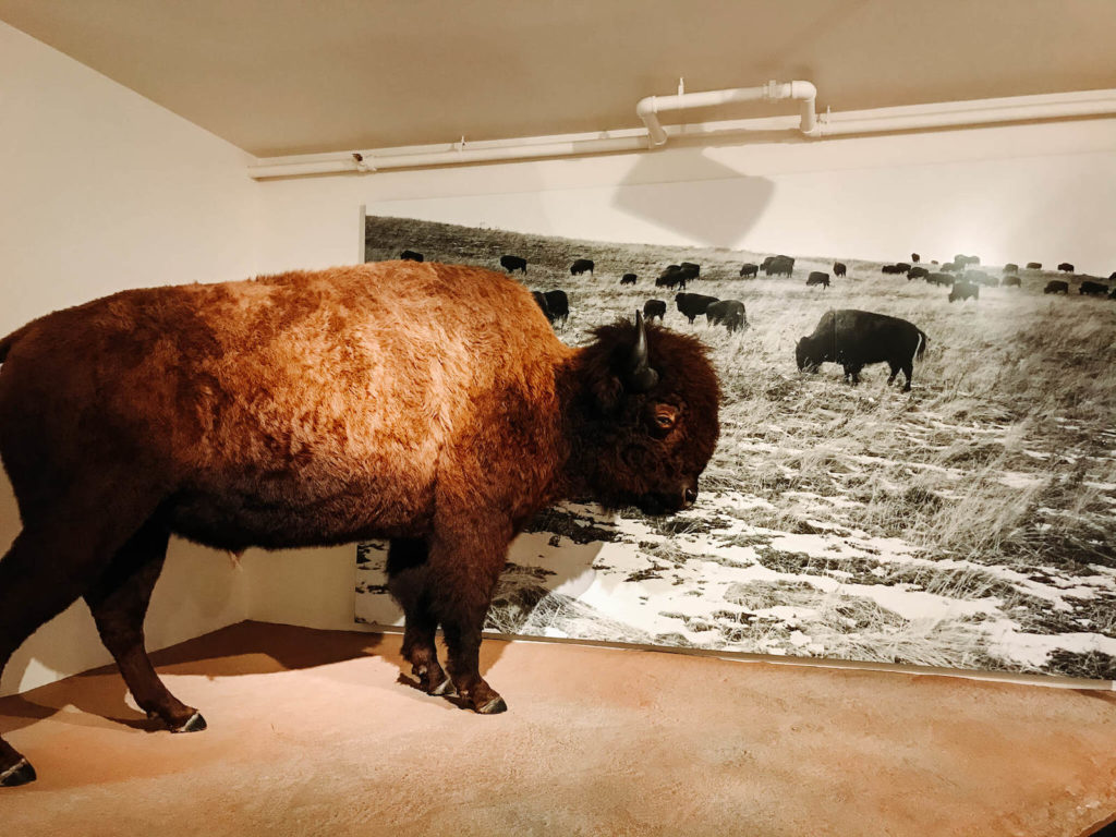 Bison in Museum of the rockies